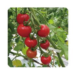 tomato_img.jpg