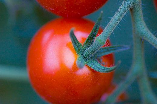 tomatom.JPG