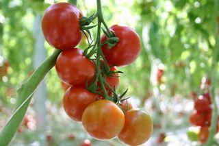 tomato2014031802